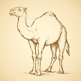 Camel. Vector drawing Stock Image