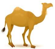 Camel. Vector illustration of a Camel Stock Photos