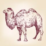 Camel vector illustration Royalty Free Stock Photography