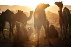 Camel vendors from the city of Pushkar,Pushkar Mela Stock Photo