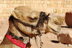 Camel. Wadi Rum Jordan. While the main money earner for most of the Bedouin in Wadi Rum is undoubtedly tourism, several people concentrate on breeding racing s Stock Photography