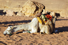 Camel. Wadi Rum Jordan. While the main money earner for most of the Bedouin in Wadi Rum is undoubtedly tourism, several people concentrate on breeding racing s Royalty Free Stock Image