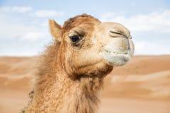 Camel in Wahiba Oman Stock Photo