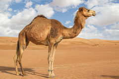 Camel in Wahiba Oman Stock Photo
