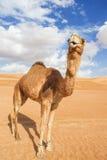 Camel in Wahiba Oman Royalty Free Stock Photos