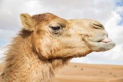 Camel in Wahiba Oman Royalty Free Stock Photo