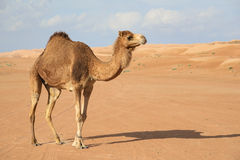 Camel in Wahiba Oman Royalty Free Stock Photos
