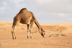Camel in Wahiba Oman Royalty Free Stock Images