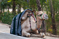 Camel wait for tourists Stock Images