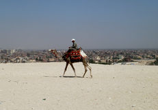 Camel walking above Cairo on the plains of Giza Stock Image