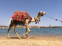 Camel walking Stock Photography