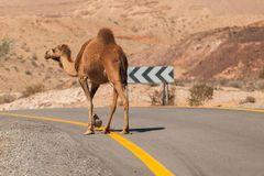 Camel walking along the road in the desert. Israel Stock Image