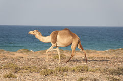 Camel walking along sea cost of Socotra island Stock Image