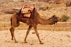 Camel walking around, waiting for his ride with tourists around Petra in Jordan. Stock Photo