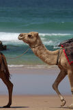 Camel walking on beach with waves. A camel used for tourist rides walking along the beach with surf waves in background Stock Image