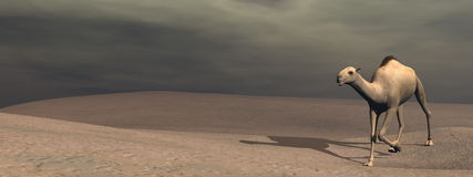 Camel walking - 3D render Stock Image