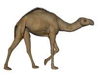 Camel walking- 3D render Stock Photography