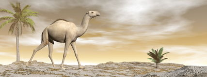 Camel walking - 3D render. Camel walking upon a sand dune with palm trees by brown sunset - 3D render royalty free illustration
