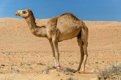 Camel walking through a desert. Taken in the Sharqiya Sands, Ash Sharqiyah Region, Sultanate of Oman Stock Photography