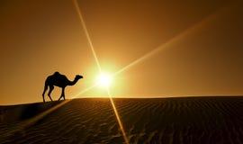 Camel walking in Dubai Desert Stock Photos