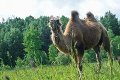 Camel walking in the field Royalty Free Stock Image