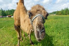 Camel walking in the field Royalty Free Stock Photo