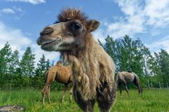 Camel walking in the field Stock Photos