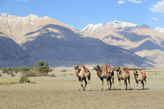 Camel walking at Hunder village in Himalayas, Nubra Valley, Lada Royalty Free Stock Image