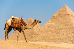 Camel Walking Pyramids royalty free stock images