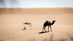A Camel Royalty Free Stock Photo