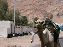 Camel walking on street in Egypt. Camera facing camel walking by itself on a street in Dahab, Egypt. With mountains, goats and a bedouin man in the background Stock Image