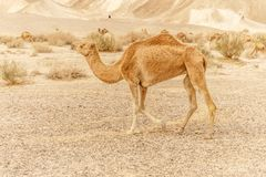 Camel walking through wild desert dune. Safari travel to sunny dry wildernes. In africa Royalty Free Stock Photo