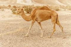 Camel walking through wild desert dune. Safari travel to sunny dry wildernes. In africa Stock Image