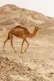 Camel walking through wild desert dune. Safari travel to sunny dry wildernes. In africa stock photo