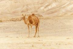 Camel walking through wild desert dune. Safari travel to sunny dry wildernes. In africa Royalty Free Stock Images