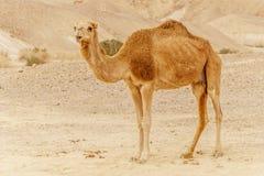 Camel walking through wild desert dune. Safari travel to sunny dry wildernes. In africa Stock Photography