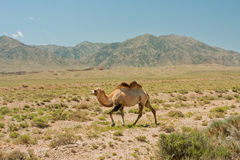 Camel walks in the wilderness against the mountain Royalty Free Stock Photo