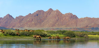 Camel watering place Stock Image