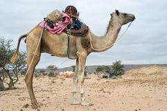 Camel in western sahara Stock Photos