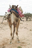 Camel in western sahara Stock Photography