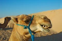 Camel which smiles. In the Sara desert of Tunisia Stock Photo