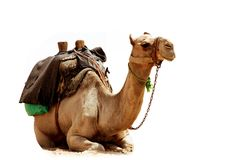 Camel on white background Royalty Free Stock Photography