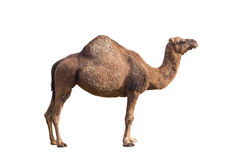 Camel on a white background. stock photo