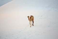 Camel in the white sand desert Stock Image