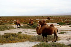 Camel in wild. Wild camel in wasteland of qinghai tibet highland Stock Images