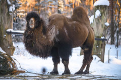 Camel in winter Royalty Free Stock Photography