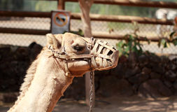 Camel With Muzzle Stock Photo
