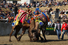 Camel wrestling. In area Stock Images