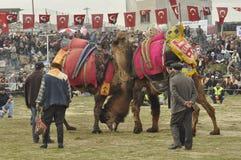 Camel wrestling Stock Photography