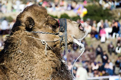 Camel Wrestling Royalty Free Stock Images